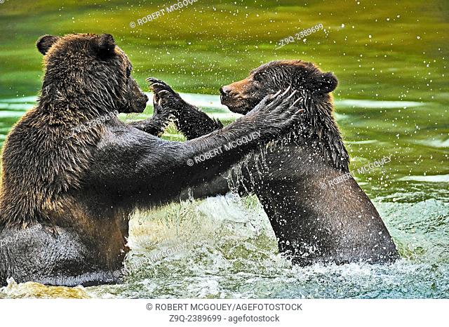 Mother and cub grizzly bears aggressivily playing in a quiet lagoon in the Tongass National Forest in Alaska, U.S.A