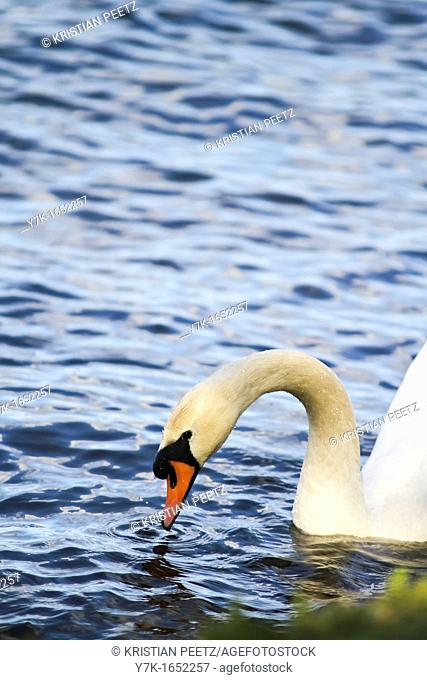 Swan in the lake Alster in Hamburg