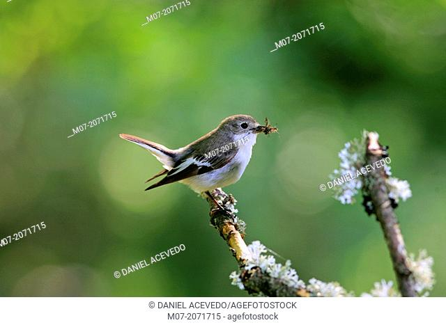 Pied flycatcher with insect on bill, Demanda range mountains, Burgos province, Spain, Europe