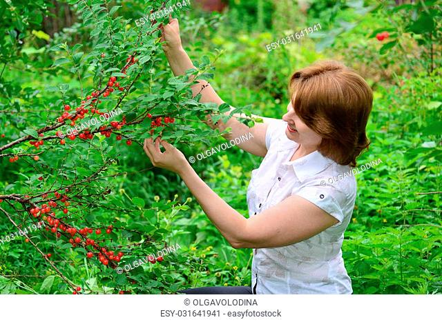 A Woman harvests cherries in the garden