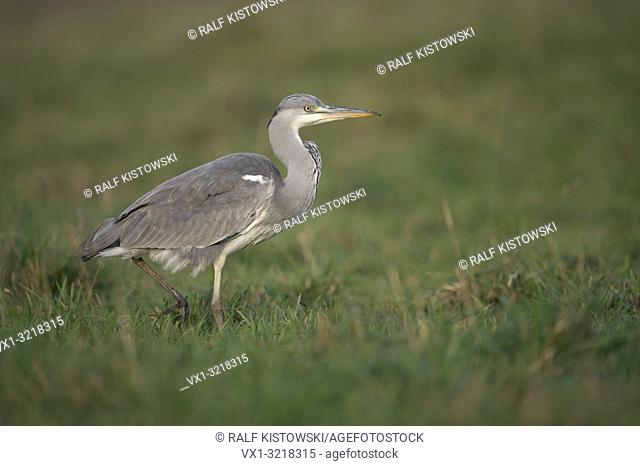 Grey Heron / Graureiher ( Ardea cinerea ) striding stealthily through a wet meadow, searching for food, typical side view.