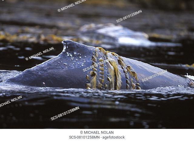 Humpback Whale Megaptera novaeangliae mother rubbing in kelp off Admiralty Island, Chatham Strait, Southeast Alaska, USA Pacific Ocean