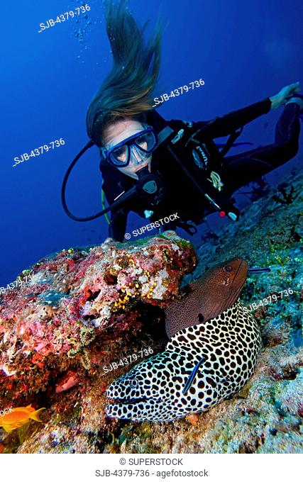 A diver looking at a blackspotted moray eel Gymnothorax favagineus, and a giant moray Gymnothorax javanicus, being cleaned by juvenile bluestreak cleaner...