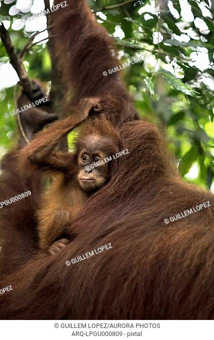 Sumatran Orangutan With Its Young One In The Forest Of Bukit Lawang, Sumatra, Indonesia