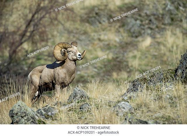 Male Bighorn Sheep, Ovis canadensis, Central Montana, USA