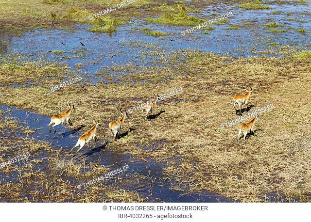 Red Lechwe (Kobus leche leche), bachelor herd, running in a freshwater marsh, aerial view, Okavango Delta, Moremi Game Reserve, Botswana