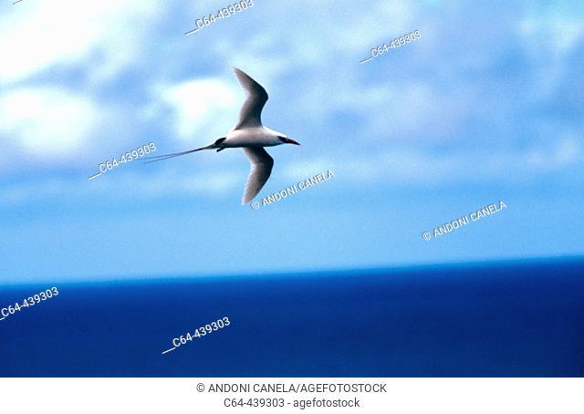 Red-tailed Tropicbird (Phaeton rubricauda). Kauai island. Hawai