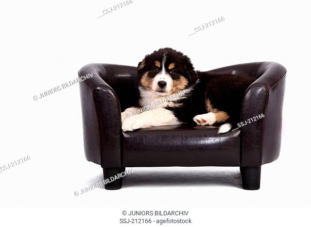 Australian Shepherd. Puppy (6 weeks old) lying on a small black pet sofa. Studio picture against a white background