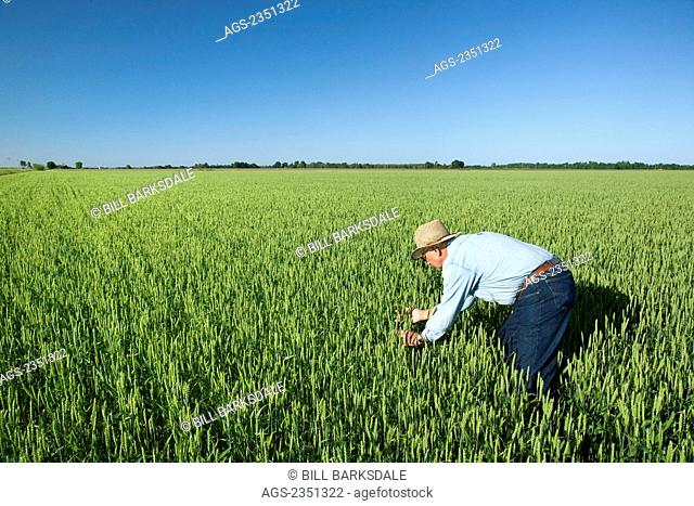 Agriculture - A farmer (grower) inspects his crop of soft red winter wheat / near England, Arkansas, USA