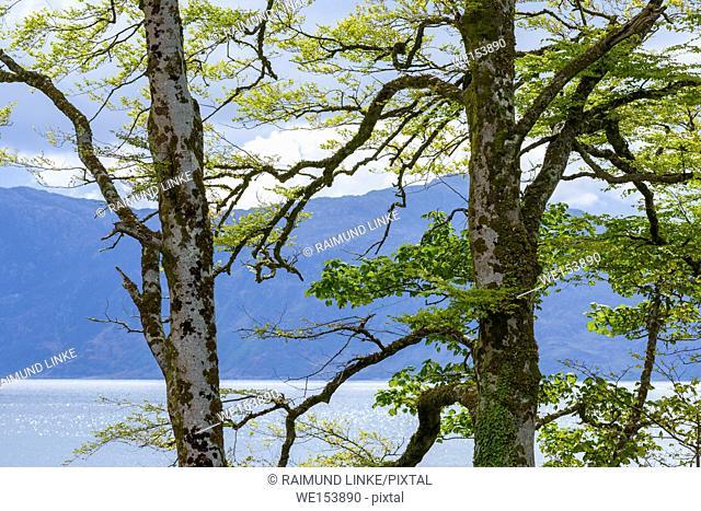 Beech tree on scottish coast, Armadale, Isle of Skye, Spring, Scotland, United Kingdom