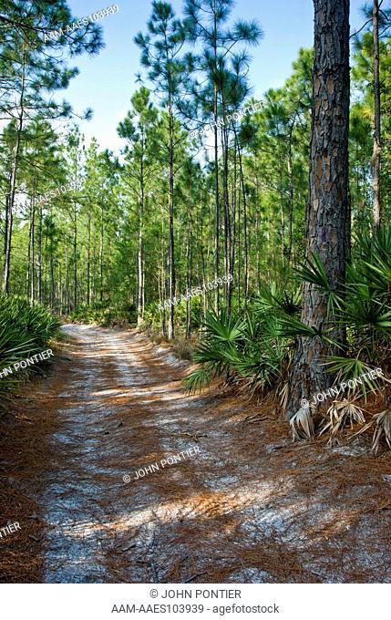 Pine Flatwoods habitat, Slash Pine (Pinus elliottii) Saw-Palmetto (Serenoa repens) Brooker Creek Preserve, Tarpon Springs, FL, USA