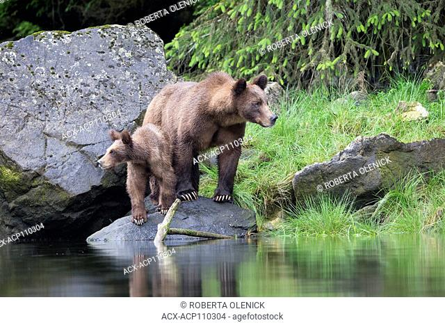 Grizzly bear (Ursus arctos horribilis), female and yearling cub, Khutzeymateen Grizzly Bear Sanctuary, British Columbia, Canada