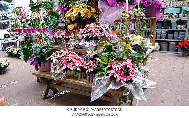 Diverse Poinsettias colors in floral arrangements for sale in a Garden Center, Mataró, Catalunya, Spain