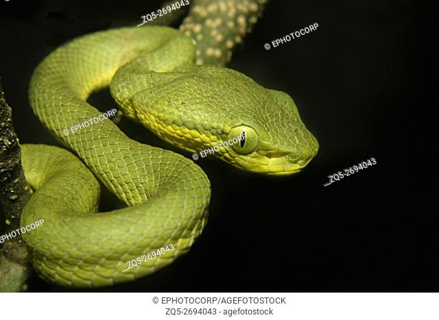 Bamboo Pit Viper, Trimeresurus gramineus. Venomous Common photographed at Sanjay Gandhi National Park, Mumbai, India