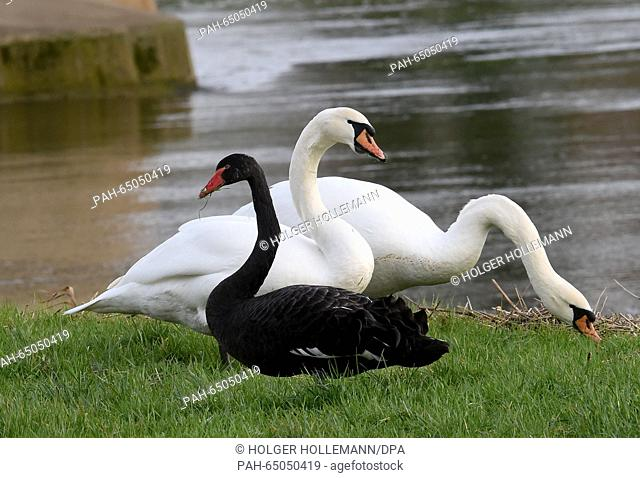 One black and two white swans in a field by the river Leine, near Bordenau, Germany, 14 January 2016. The black swan, actually native to Australia