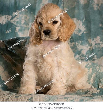 cute american cocker spaniel puppy sitting on green backdrop