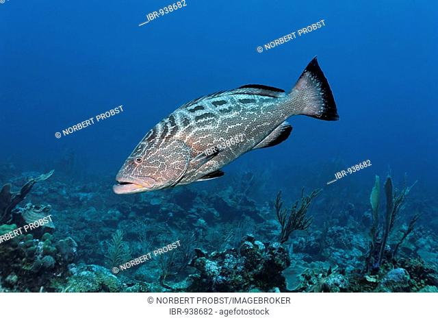 Black Grouper fish (Mycteroperca bonaci) swimming over a coral reef in search of prey, barrier reef, San Pedro, Ambergris Cay Island, Belize, Central America