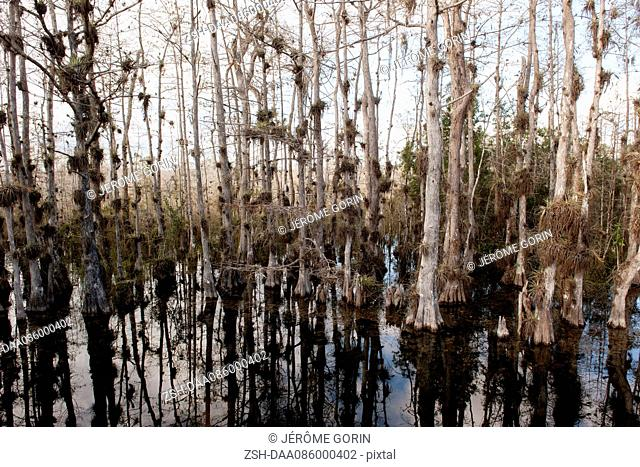 Cypress trees growing in Everglades National Park, Florida, USA