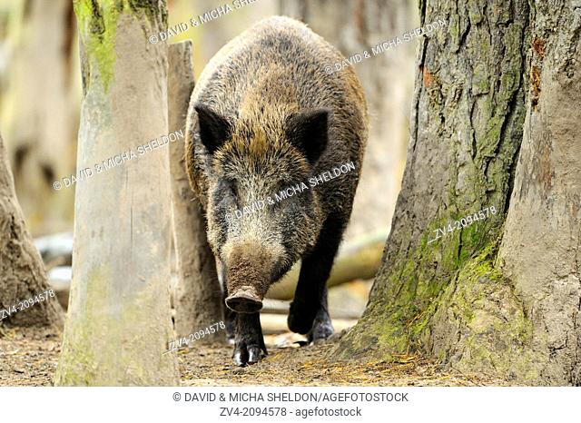 Close-up of a Wild boar or wild pig (Sus scrofa) in a forest