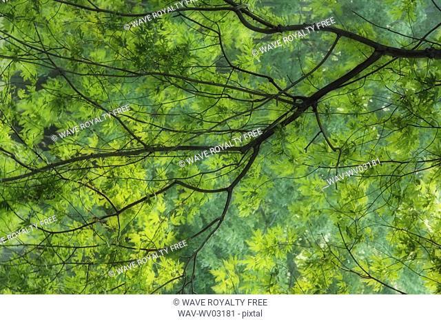 Maple Tree at Selkirk Provincial Park - Selkirk, Ontario, Canada