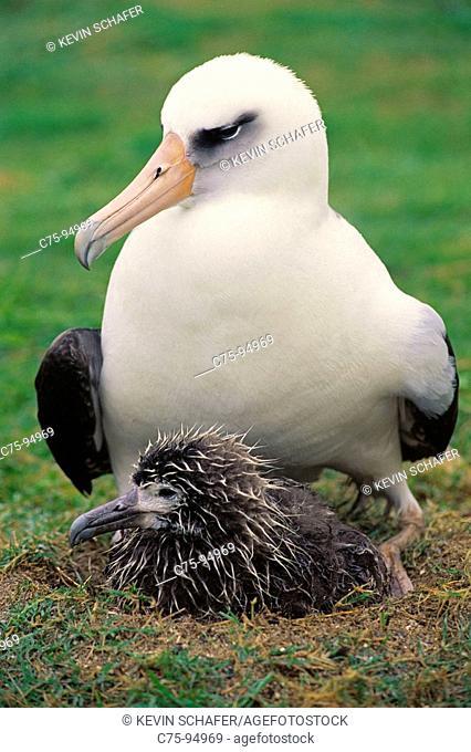 Laysan Albatross (Diomedea immutabilis) adult with chick. Midway Atoll, Hawaii, USA