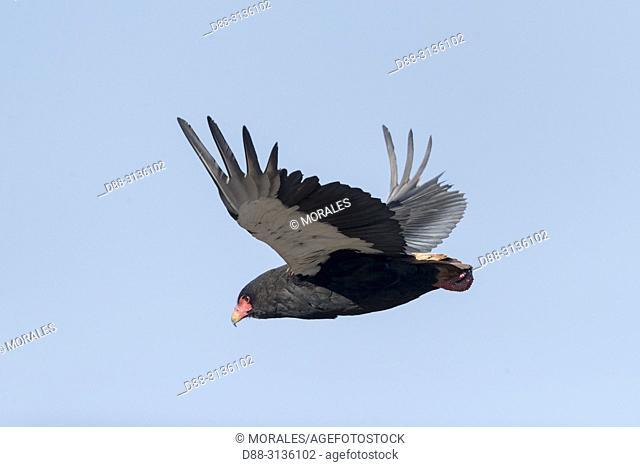 Africa, Southern Africa, Bostwana, Central Kalahari Game Reserve, Bateleur (Terathopius ecaudatus), in flight