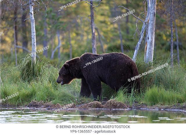 Brown Bear Ursus arctos standing on lakeshore, Finland