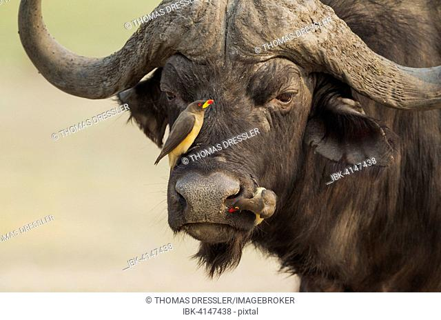 Cape Buffalo (Syncerus caffer caffer), bull with both a Yellow-billed Oxpecker (Buphagus africanus) on the left and a Red-billed Oxpecker (Buphagus...
