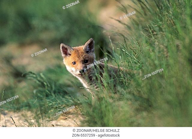 Rotfuchswelpe steht angespannt aeugend vor dem Fuchsbau - (Rotfuchs - Fuchs) / Red Fox kit standing intently looking in front of the foxs den - (European Red...