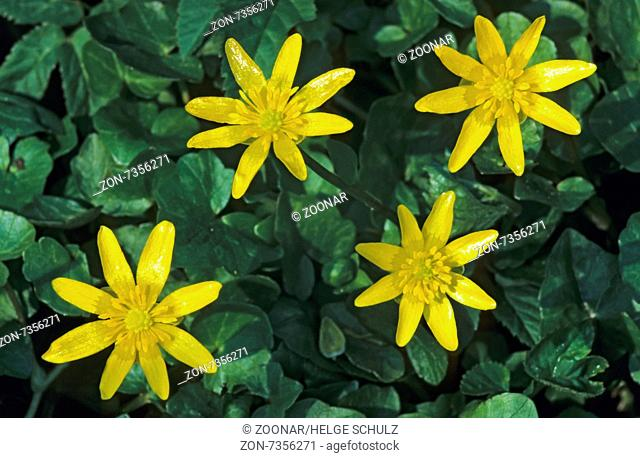 Lesser Celandine the leaves are high in vitamin C