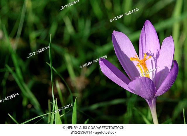 Meadow Saffron, Colchicum autumnale, France, Pyrenees