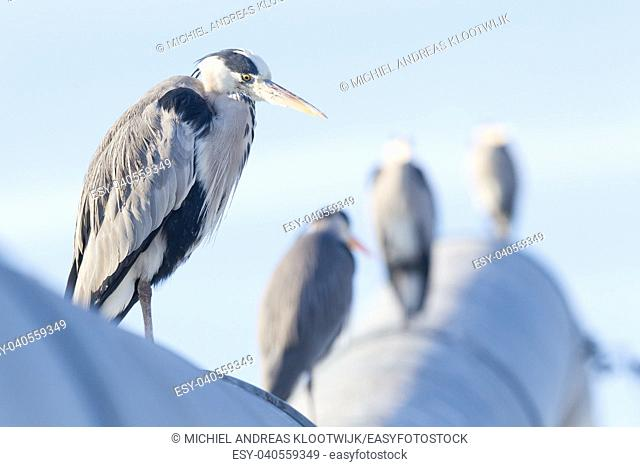 Image of a great blue heron, selective focus