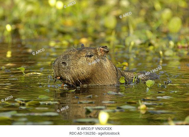 Capybara Pantanal Argentinia Hydrochoerus capybara Hydrochaeris hydrochaeris Carpincho