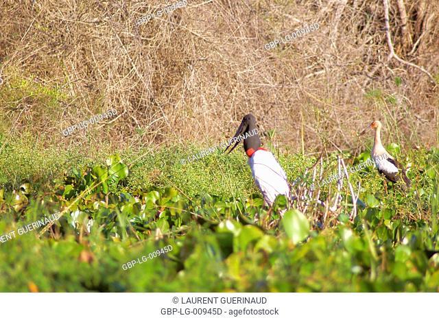 Tuiuiu or Jaburu, Jabiru Stork, Jabiru mycteria,Tabuiaia, Maguari Stork, Ciconia Maguari, Euxenura maguari, Pantanal, Mato Grosso do Sul, Brazil