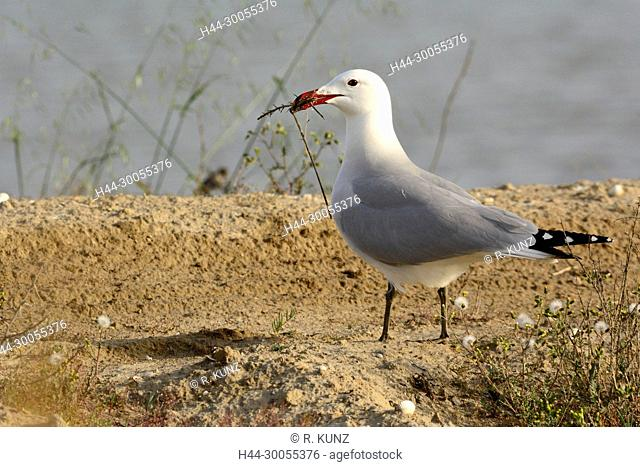 Audouin's Gull, Larus audouinii, Laridae, Gull, adult, breeding plumage, bird, animal, with nesting material, Ebro Delta, Province of Tarragona, Catalonia