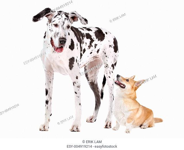 Harlequin Great Dane and aPembroke Welsh Corgi dog