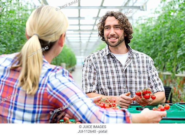 Growers talking and inspecting ripe red vine tomatoes in greenhouse