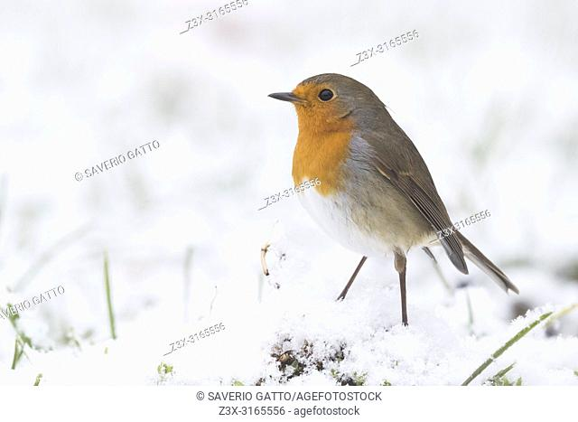 European Robin (Erithacus rubecula), adult standing on the ground