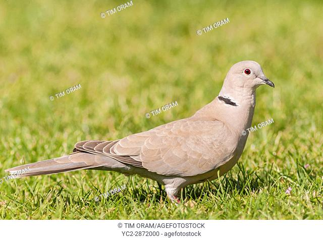 A Collared Dove (Streptopelia decaocto) in the uk
