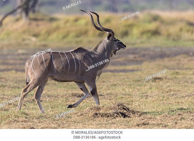 Africa, Southern Africa, Bostwana, Moremi National Park, Greater kudu (Tragelaphus strepsiceros), adult male