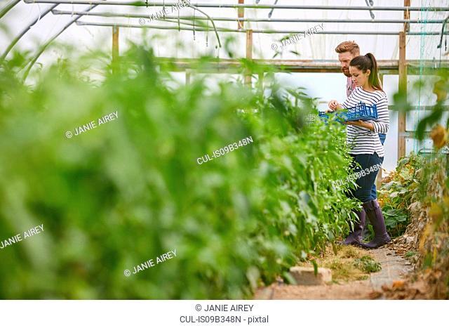 Couple in polytunnel harvesting fresh chilli peppers