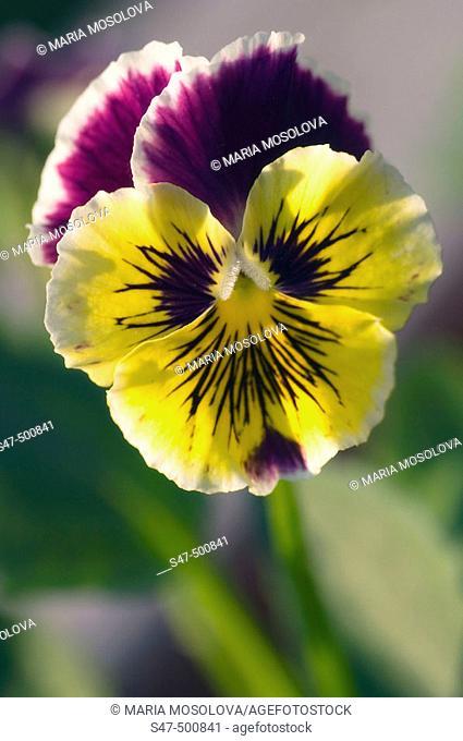 Pansy Flower. Viola x wittrockiana. Maryland, USA