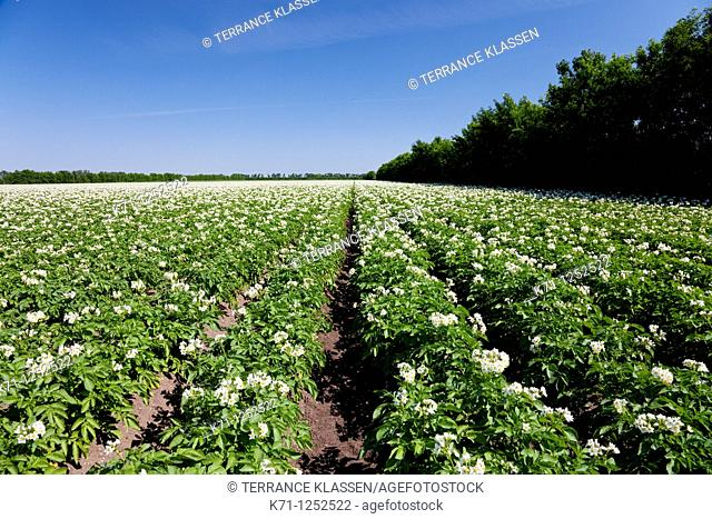 A field of potatoes in bloom near Winkler, Manitoba, Canada
