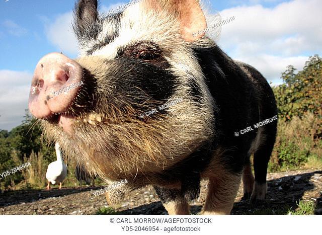 Kune Kune domestic pig