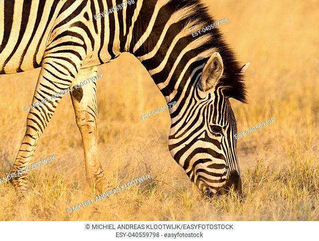 Plains zebra (Equus quagga) in the grassy nature, evening sun - Botswana