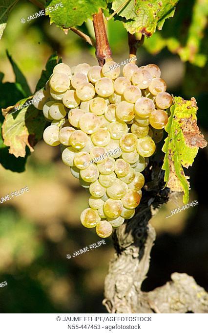 White grapes (Vitis vinifera). Castellví de la Marca, Alt Penedès. Barcelona province, Catalonia, Spain