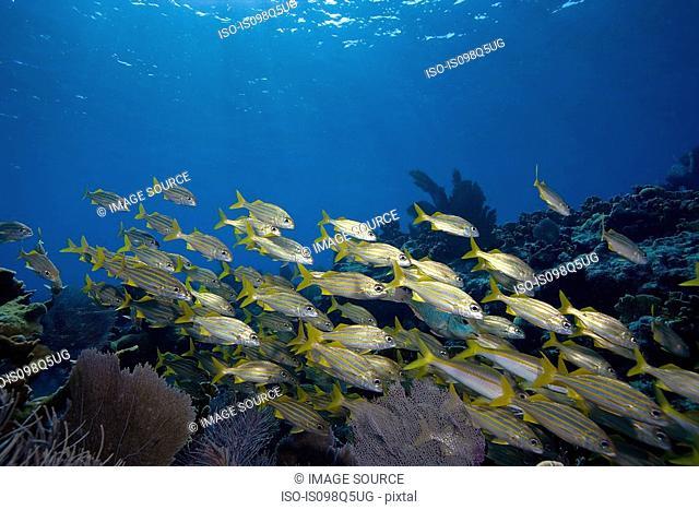 Schooling fish on reef crest
