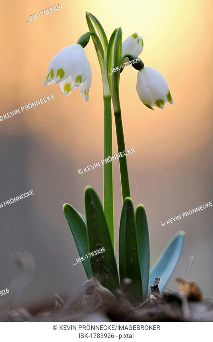 Spring Snowflake (Leucojum vernum) at sunset, Leipziger Auwald, Leipzig floodplain forest, Saxony, Germany, Europe