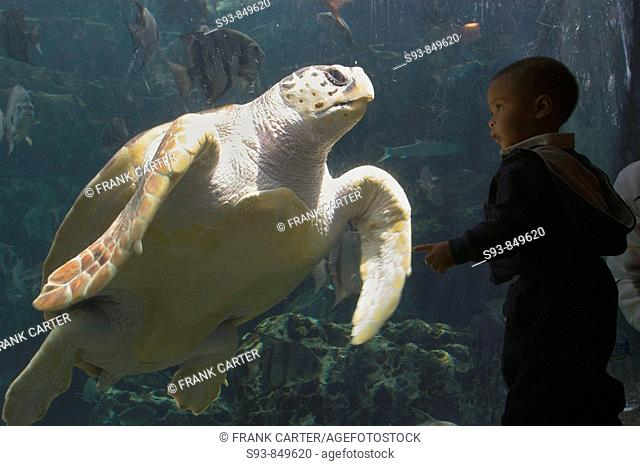 A small boy comes eye to eye with a large turtle swimming in a tank at the Georgia Aquarium in Atlanta, USA