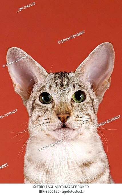 Oriental Shorthair cat, Chocolate Silver Spotted Tabby